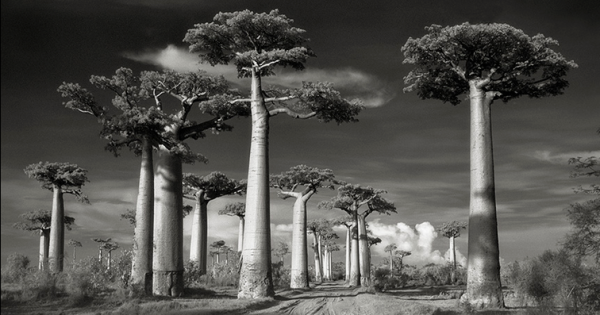 Beth Moon, baobab, Madagascar, ancient, trees, portraits, time